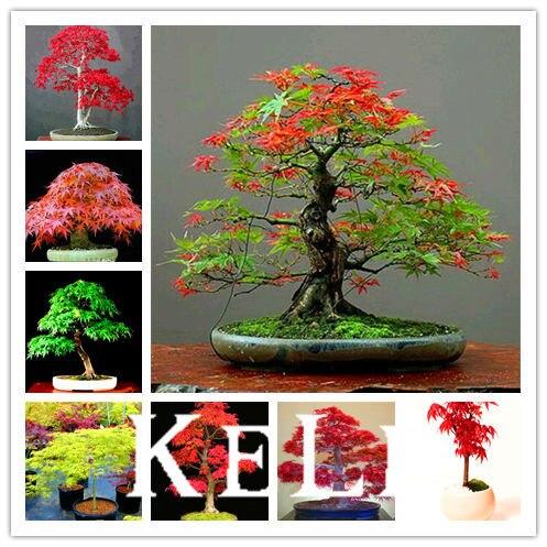 Comprar arce rojo japon s rbol bonsai - Arbre ver a soie ...
