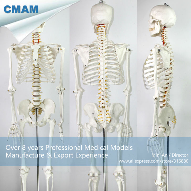 12361 CMAM-SKELETON01 Life-size 170cm Skeleton Medical Anatomical Models plastic standing human skeleton life size for horror hunted house halloween decoration