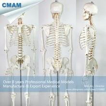 CMAM-SKELETON01 Life-size Skeleton Medical Anatomical Models