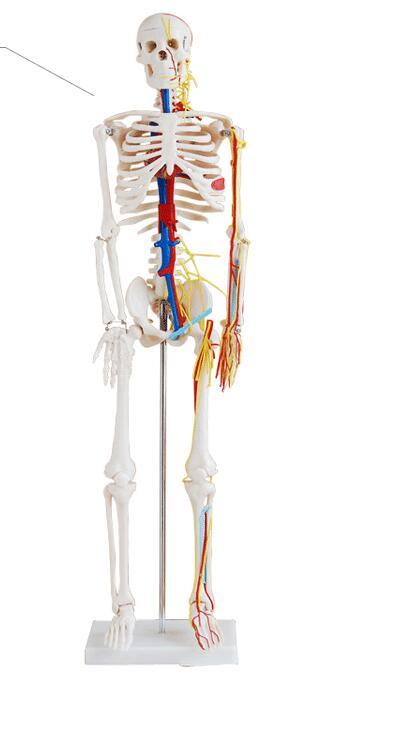 Human skeleton model Skeleton Human skeleton Bone specimens 85 cm Heart Blood vessels Neurology Skeleton model-GASENHN-003 цена