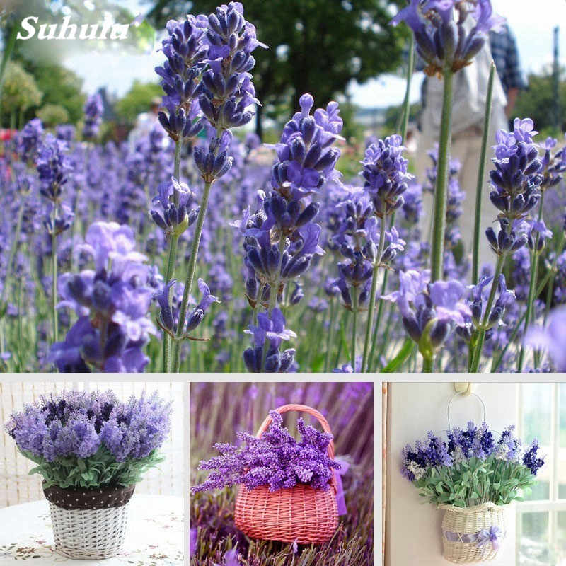 100 Pcs/ bag French Rare Lavender Purple Blooming Flower Very Fragrant Natural Growth Home Garden Plant For Children'Gifts