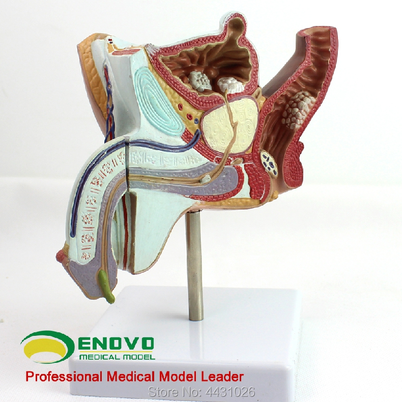 ENOVO A model of male gonorrhea and prostatic hyperplasia of male reproductive urinary system model olga b a van den akker reproductive health psychology