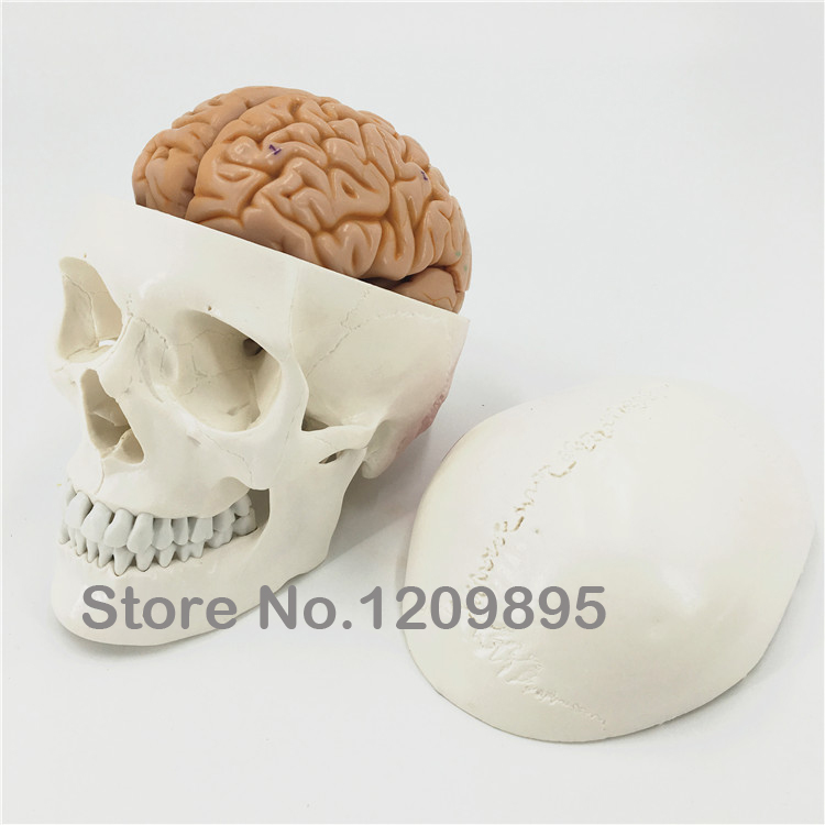 Skull model with brain human cranium model brain model Neurology ...