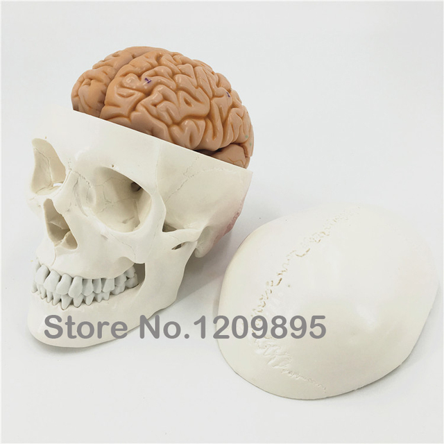 Skull model with brain human cranium model brain model Neurology ...