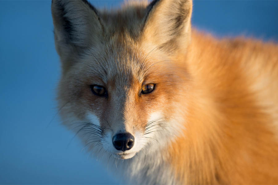 Poster 20x30 Red Beautiful Fox Face Living Room Wall Poster, 20x30 Inch