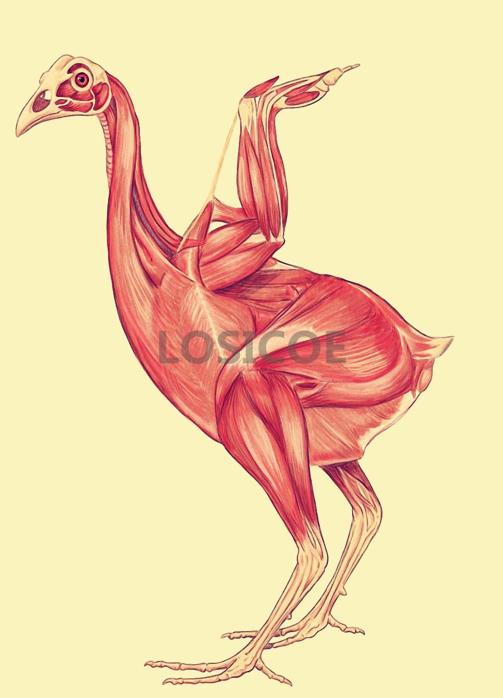 Chicken Animal Muscle Medicine Anatomy Posters Retro Kraft Paper ...