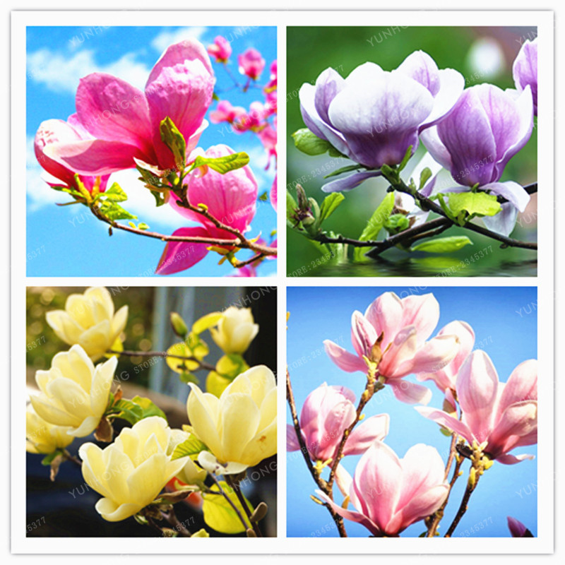 how to grow magnolia from seed