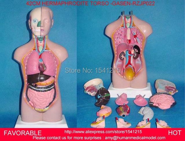 Online Shop Human Torso Modelfamalemale Torsoanatomical Model