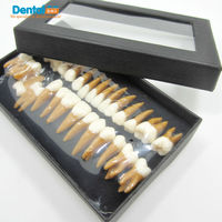Dental gift Verisimilitude Communication Dentist products Tooth Models Odontologia Permanent Teeth Model double color