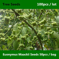 Spindletree Euonymus Maackii Seeds 100pcs, Easy Grown Euonymus Bungeanus Seeds, Family Celastraceae Euonymus Hamiltonianus Seeds