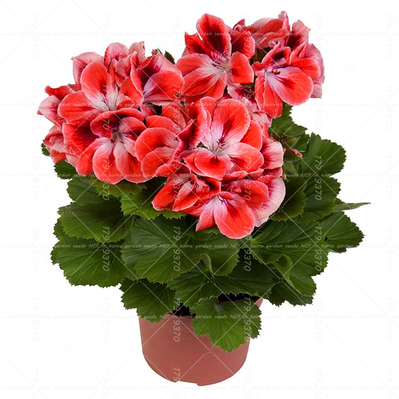 Best-Selling!100pcs Bonsai geranium seeds Rare Variegated Geranium seed potted flower plant for home garden