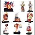 4D MASTER состава тела человека структура модели использовать обучающие головоломки игрушки вырезом модель выбрать