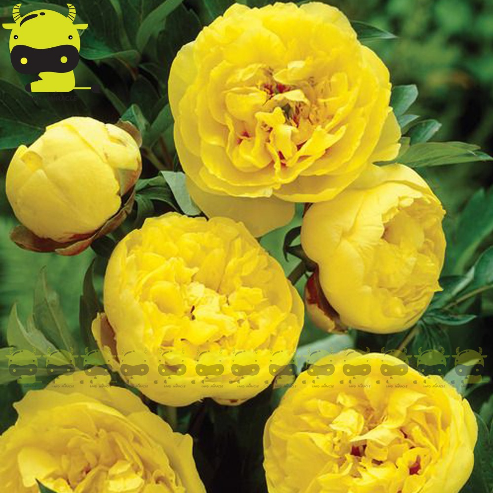 пион жёлтый фото