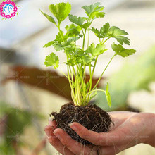 100 pcs/bag coriander seeds seasons parsley aroma seeds natural Edible organic vegetable seeds green plant DIY for home garden