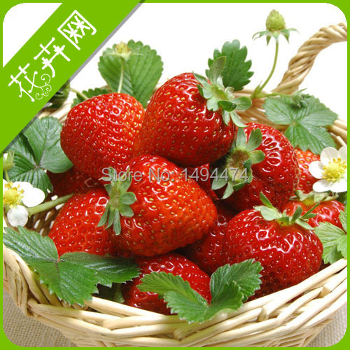 Potted Fruit Seeds 350 Piece, German Latest Climbing Strawberry Seeds, A Powerful <font><b>Warrior</b></font> Vine, <font><b>The</b></font> Real Climbing Plants