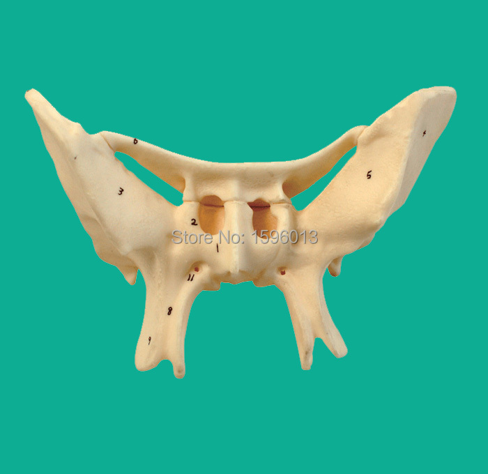 Amplified Alar Bone model, sphenoid bone modelAmplified Alar Bone model, sphenoid bone model