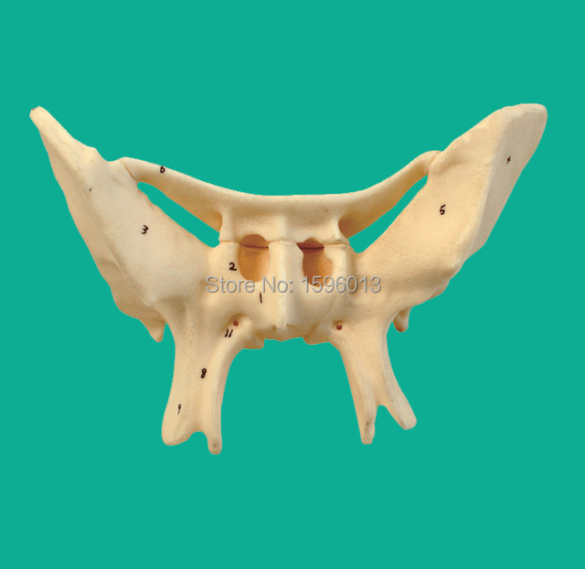 sphenoid bone neural structure – applecool, Human Body