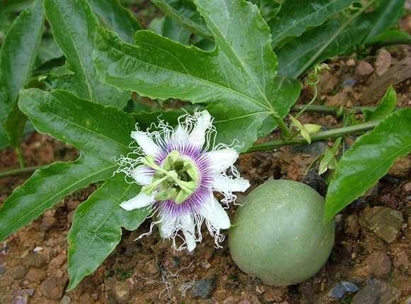 1 kg 10:1 Passiflora extrato em pó