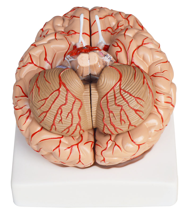 Anatomical Human Brain Model Anatomy Medical Teaching Tool Toy