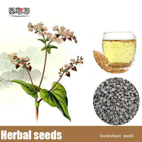 Buckwheat Fagopyrum Tataricum Seed, DIY Home Garden herbal Plants Grain Seeds 50pcs/bag