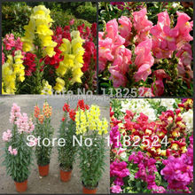 100+ – Multi-colored Snapdragon Seeds Bonsai Flower Plant Seeds * free Shipping
