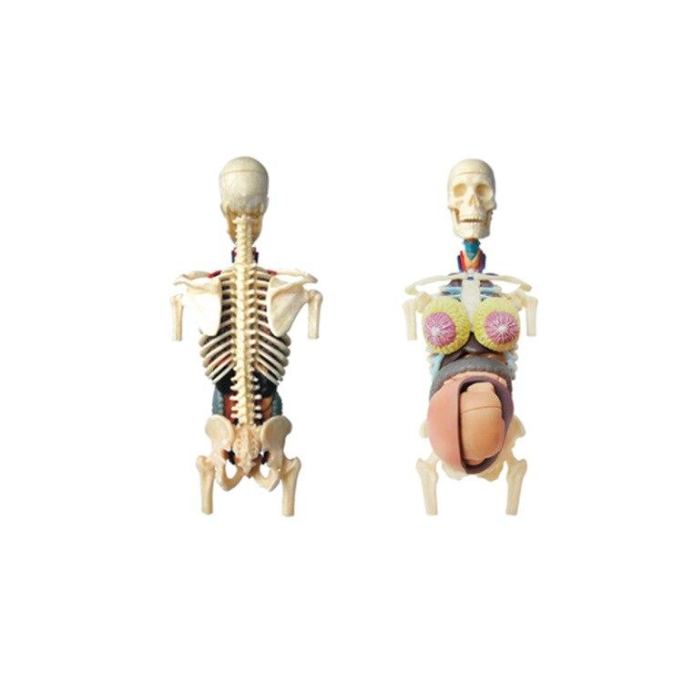 Educatief Gemonteerd 4d Menselijk Lichaam Skelet Anatomie Schedel ...