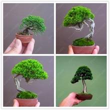 Buy  tree perennial plant for miniature garden   online