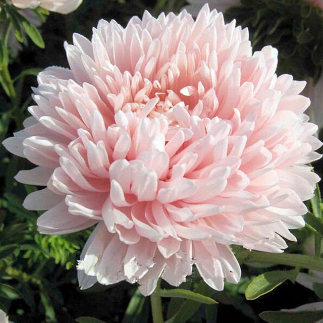 50 light pink chinese aster flower seeds so fragrant garden flower 50 light pink chinese aster flower seeds so fragrant garden flower gorgeous mightylinksfo