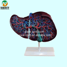 BIX-A1048 Liver Anatomical Model   G143