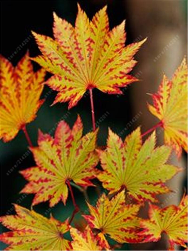 20 шт. / Пакет японский клен семена торонто кленовые листья семена деревьев многолетние декоративные