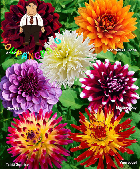 50 Pcs Dahlia Flower Dahlia Bonsai Charming Bonsai Flower Bonsai not Dahlia Bulbs High Germination Home Garden Potted Plant