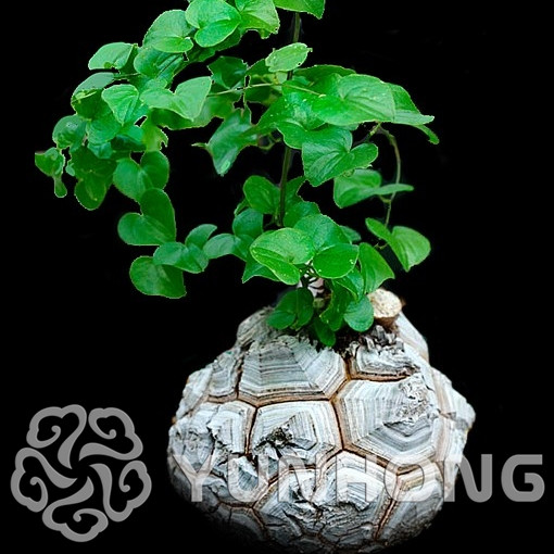 New Arrival Home Garden Succulent Plant 1PCS Seeds Elephants Foot Dioscorea elephantipes Seeds Free Shipping