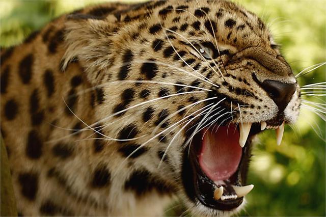 DIY frame Ferocious Cheetahs Big Cat Roaring Wild Animal ...