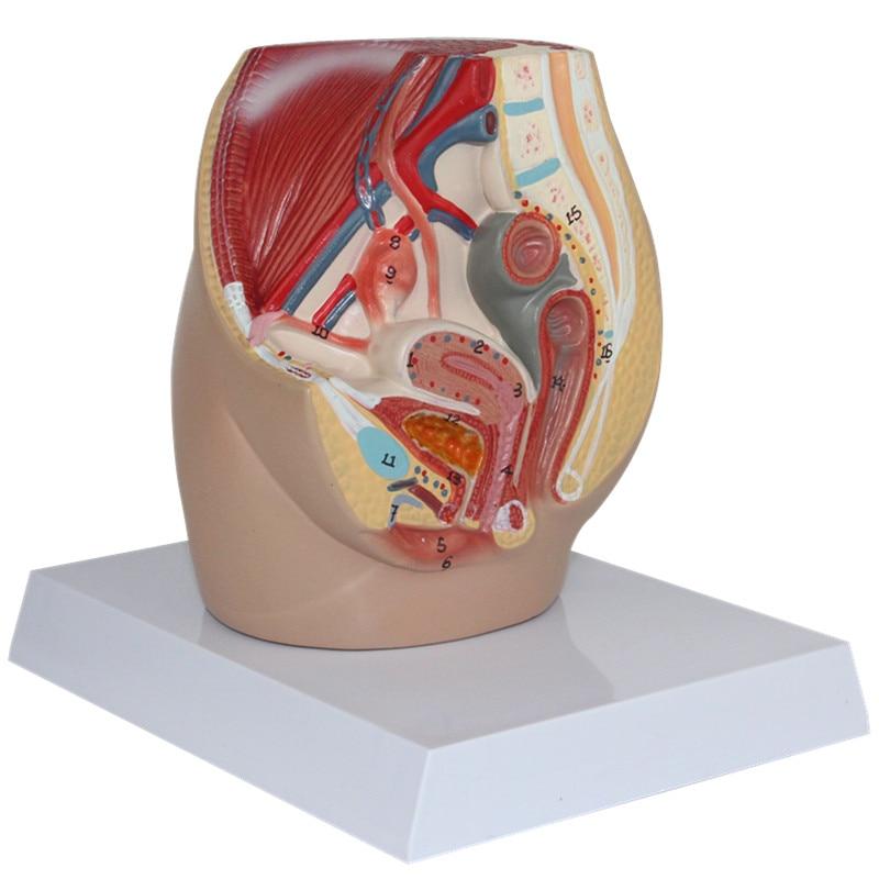 HeyModel Female pelvic median sagittal section model male external genitalia anatomical model pelvic sagittal plane model penis model bladder section medical model gasen rzmn016