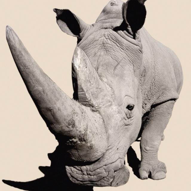 Rhinoceros;Africa Poster Print (24 x 36)