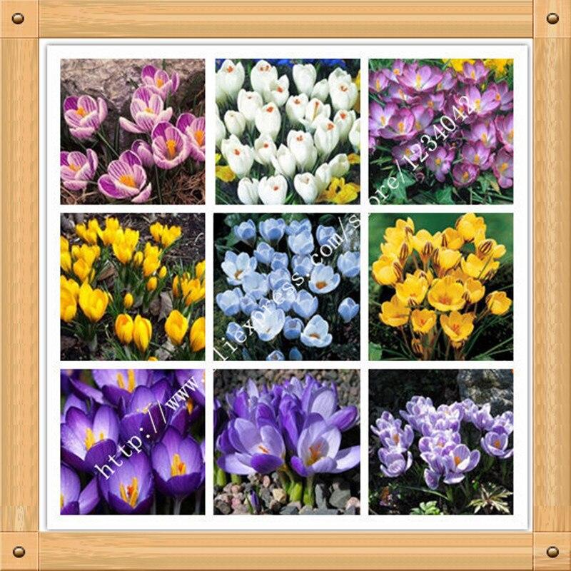 200pc saffron seeds saffron flower seeds saffron crocus. Black Bedroom Furniture Sets. Home Design Ideas