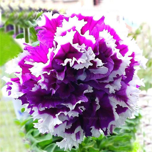 100 pcs petunia Plants,double petals petunia Garden,Flower bonsai Plantas flower plant bonsai indoor petunia petals flower
