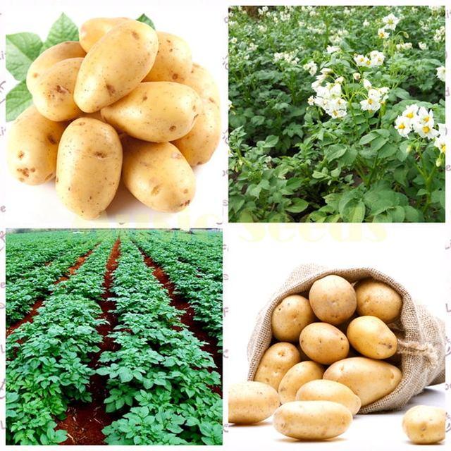 50 pz Patate bonsai Nutrizione semi di Ortaggi Verdi Per La Casa e Giardino di Impianto di Patate bonsais Assorbe Radiazioni Verdure Plantas