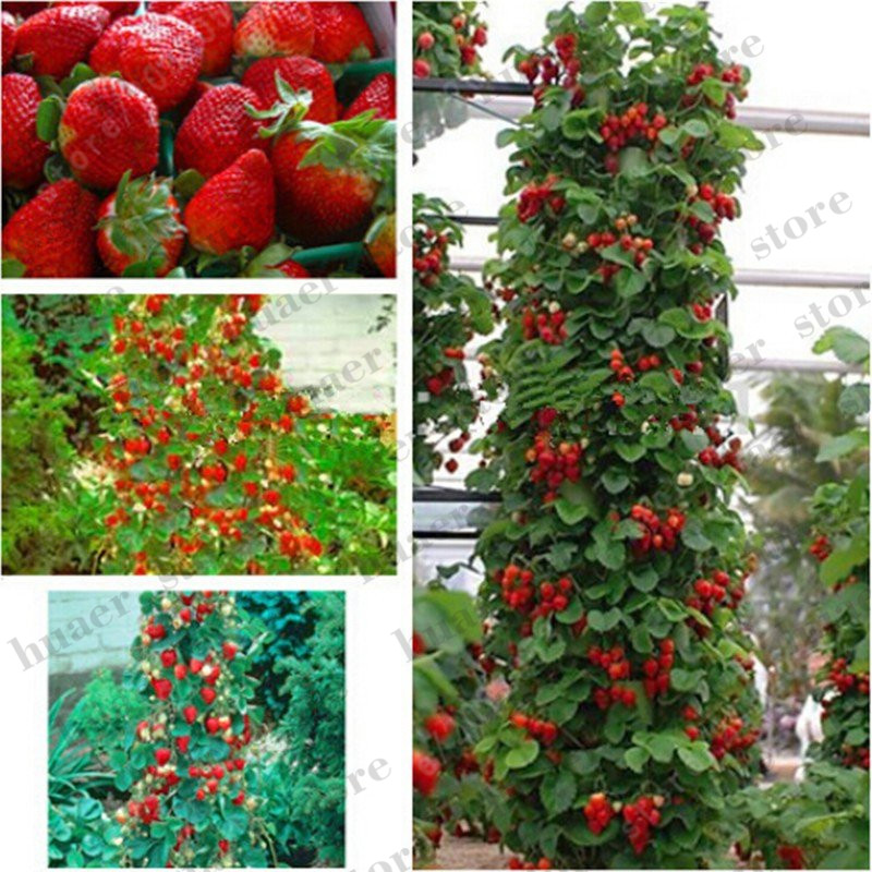 300pcs mountaineering strawberry bonsai plants home garden with strawberry NON GMO strawberry tree big delicious fruit-in Bonsai from Home & Garden