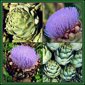 50 pcs groene artisjok bonsai, cynara scolymus groente, groen, heirloom, biologische heerlijke en voedzame, gratis verzending