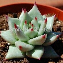 Echeveria agavoides семена 20 шт. продвижение семена цветов суккулентов