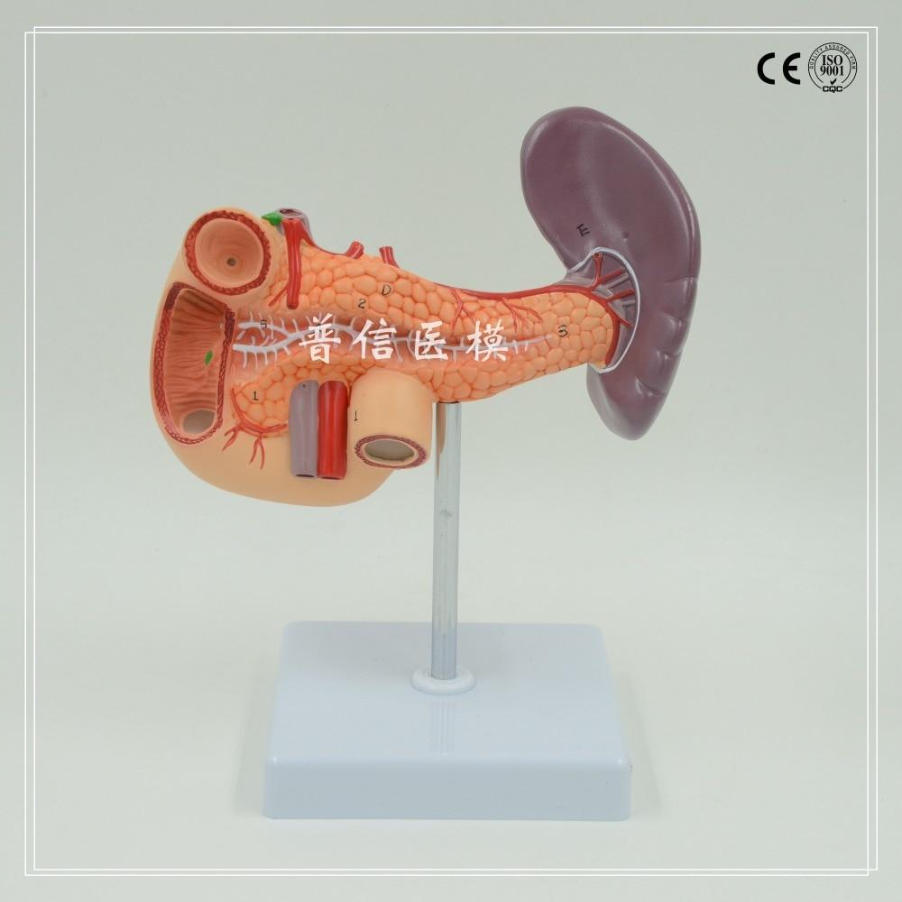 DongYun marca Umano pancreas duodeno milza Medico modello anatomicoDongYun marca Umano pancreas duodeno milza Medico modello anatomico