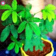 50 шт. балкон Мимоза стыдливая горшках Листва растений чувствительной завод Fun Bashfulgrass многолетнее комнатные растения бонсай