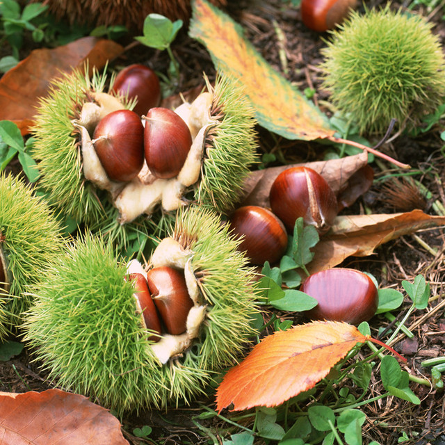 aliexpress  buy  seeds chinese chestnut fruit tree seeds, Beautiful flower