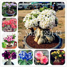100% True Desert Rose Bonsai Ornamental Plants Balcony Bonsai Potted Flowers Drawf Adenium Obesum Bonsai -1 Particles/lot(China)