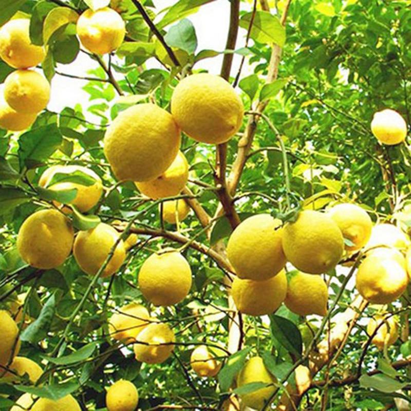 Редких Природных Сладкий Желтый Lemon Дерево Помещении На Открытом Воздухе Семена Фрукты Овощи Семена Растений Garden-10 шт/много
