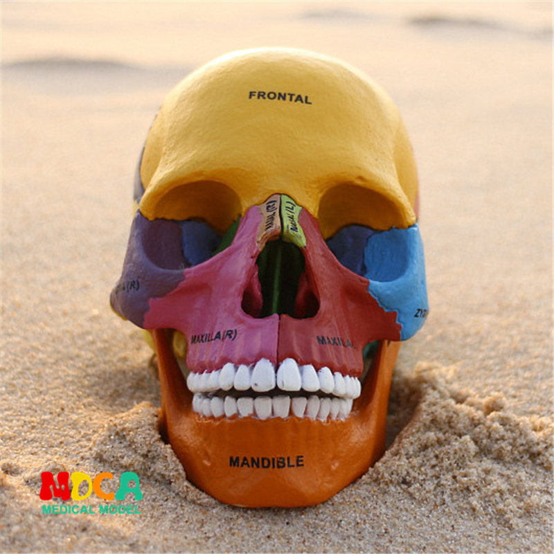 Color bone 4d master puzzle Assembling toy human body organ anatomical model medical teaching model