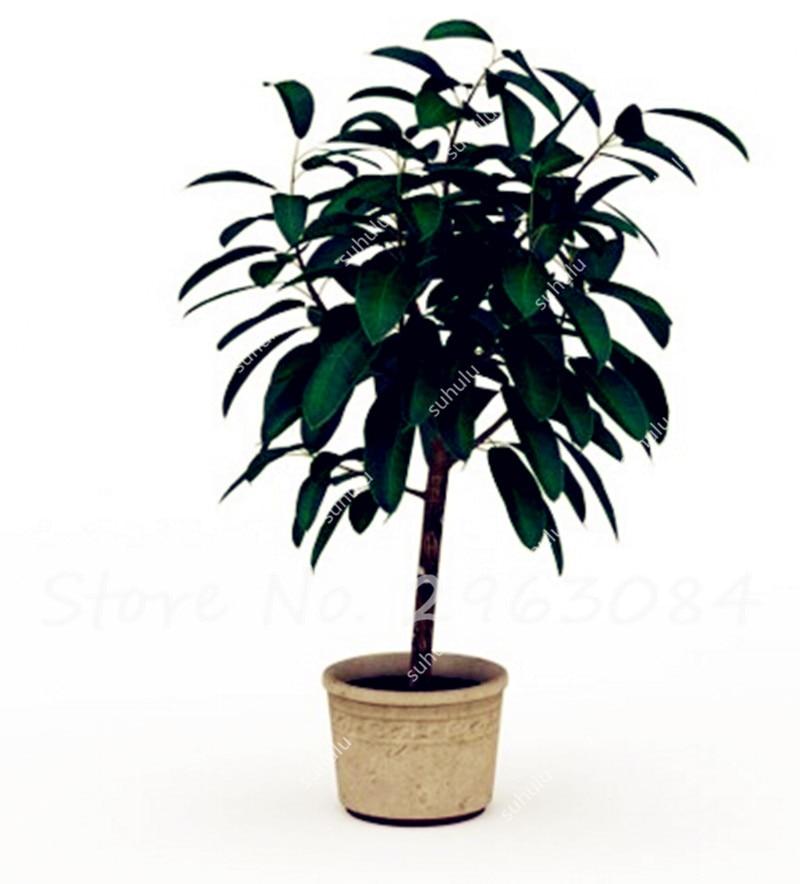 rare unidsbolsa rubber tree semillas semillas de rboles en maceta la absorcin