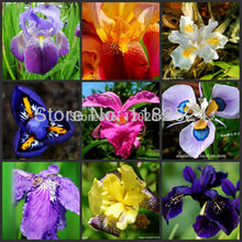 Free Shipping 100pcs Mix-color Flag Iris - Bonsai Butterfly Phalaenopsis amabilis Flower plants