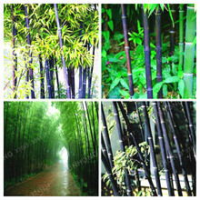 Mesprout 50 Pcs Rare Giant Black Moso Bamboo Bambu
